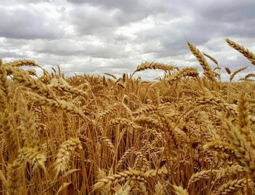 Особенности выращивания пшеницы по технологии «ноу-тилл»