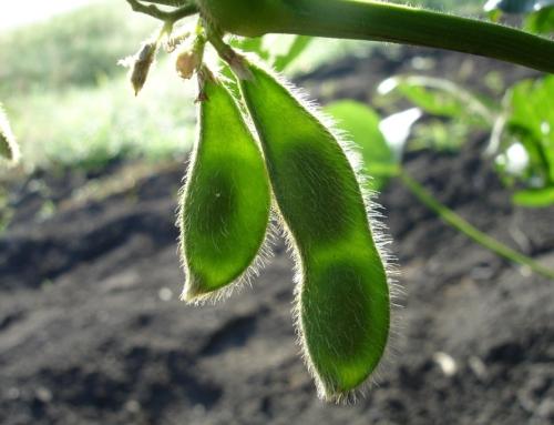 Визначення вмісту фосфору й калію в тканинах кукурудзи та сої
