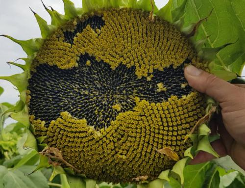 Кукурудза, соняшник, соя і капуста – актуальні проблеми сезону 2019