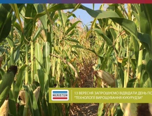 День поля – кукурудза